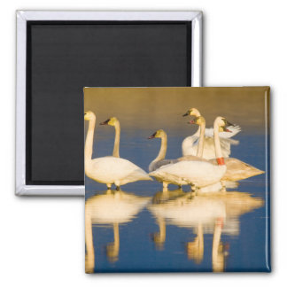 Trumpeter swan family in last light at pond at 2 square magnet