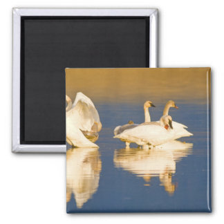 Trumpeter swan family in last light at pond at square magnet