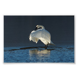 Trumpeter Swan Flapping Photo Print