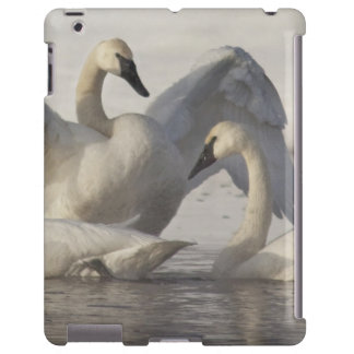 Trumpeter Swans in the Madison River in winter
