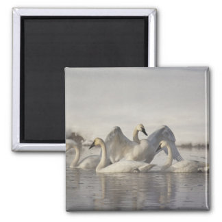 Trumpeter Swans in the Madison River in winter Square Magnet