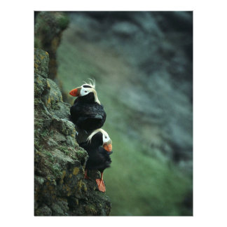 Tufted Puffin Pair 21.5 Cm X 28 Cm Flyer