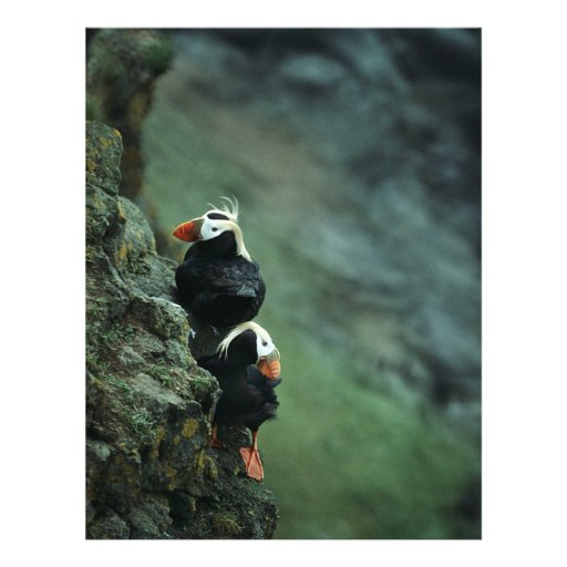 Tufted Puffin Pair Flyer Design