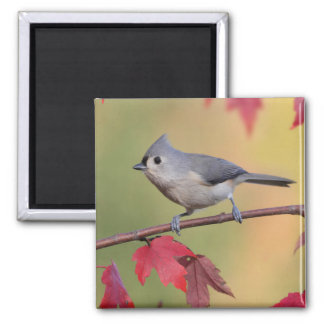 Tufted Titmice Square Magnet