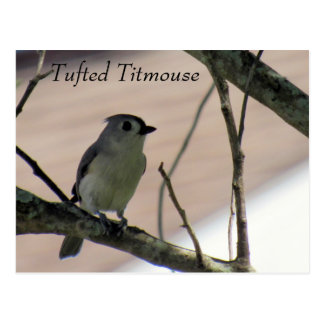 Tufted Titmouse - Learning Postcard - Florida