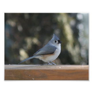 Tufted titmouse with tuft up photograph