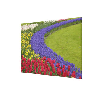 Tulip and Grape Hyacinth and daffodil garden, Stretched Canvas Prints