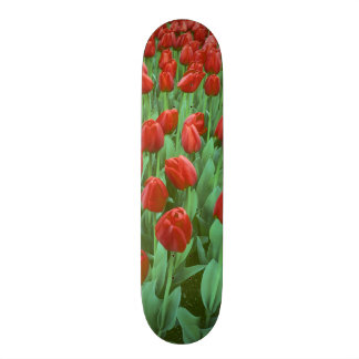 Tulip field blooms in the spring. skate boards