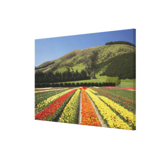 Tulip Fields, near Tapanui, West Otago, South 2 Gallery Wrapped Canvas