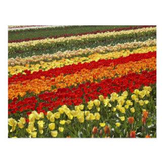 Tulip Fields, near Tapanui, West Otago, South Postcard
