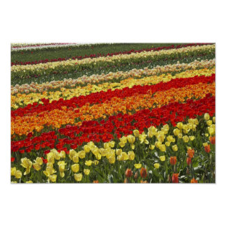 Tulip Fields, near Tapanui, West Otago, South Poster