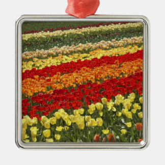 Tulip Fields, near Tapanui, West Otago, South Silver-Colored Square Decoration