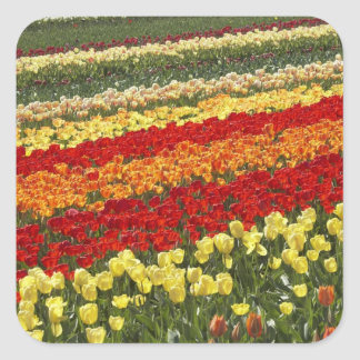 Tulip Fields, near Tapanui, West Otago, South Square Sticker