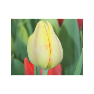 Tulip flower in a botanic garden. canvas print