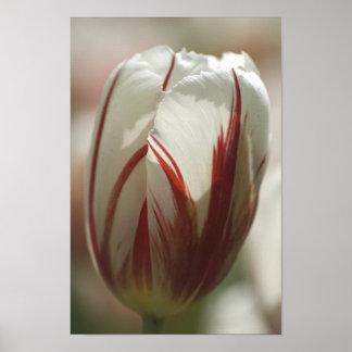 Tulip suprise poster