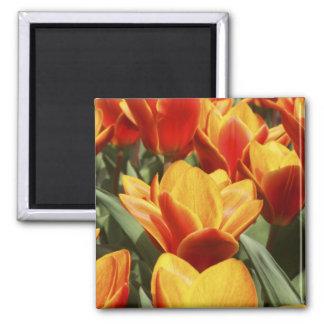 Tulips abound in Keukenhof Gardens, Holland. Square Magnet