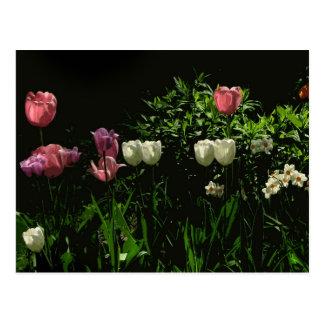 Tulips and Daffodils Postcard