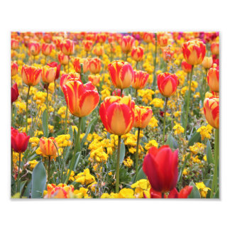 Tulips, Bright and colorful yellow and red Photo Print
