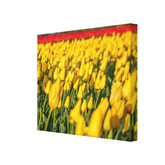 Tulips field Holland Landscape Single Canvas