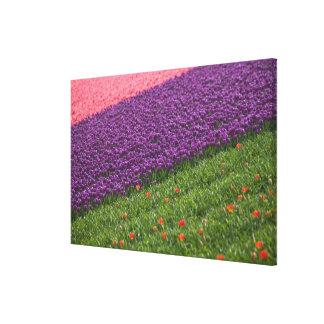 Tulips in Keukenhof Gardens, Amsterdam, 2 Canvas Prints