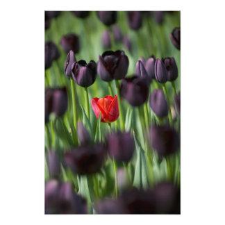 Tulips in Keukenhof Gardens, Amsterdam, Art Photo