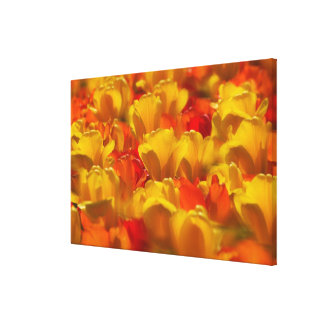 Tulips in Keukenhof Gardens, Amsterdam, Stretched Canvas Prints