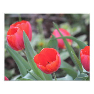 Tulips Print for Spring! Photograph