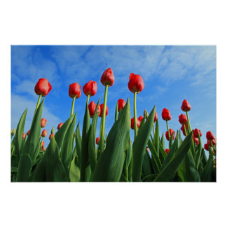 Tulips red flowers beautiful photo poster print