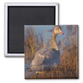Tundra Swan or Whistling swan nesting, 1002 Square Magnet