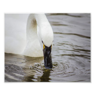 Tundra Swan Swimming Closeup Photo Print