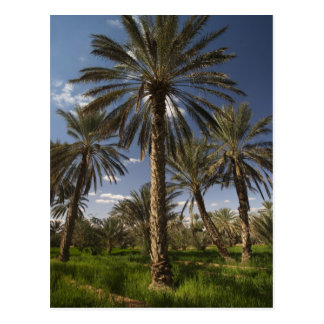 Tunisia, Ksour Area, Ksar Ghilane, date palm 2 Postcard