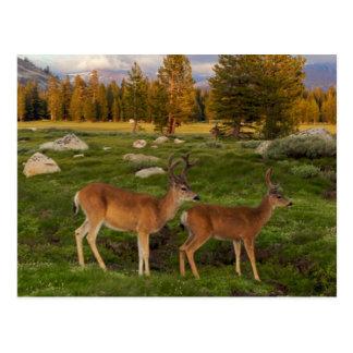 Tuolumne Meadow, Yosemite Post Card