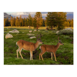 Tuolumne Meadow, Yosemite Postcard