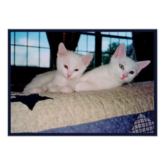 Turkish Angora Kittens Poster