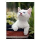 Turkish White Kitten Postcard