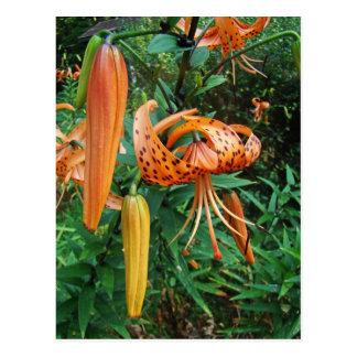 Turk's Cap Lily Wildflower Postcard