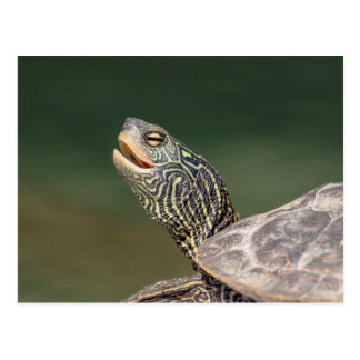 Turtle on LaChute River Postcard