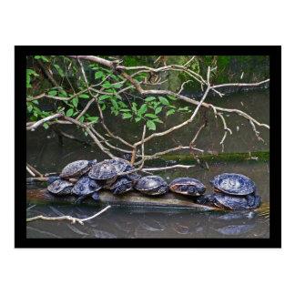 Turtles Pile up Postcard