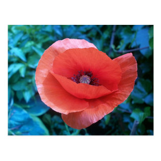 Tuscan red poppy. postcard