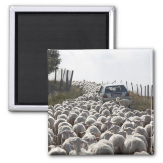 tuscany farmland road, car blocked by herd of square magnet