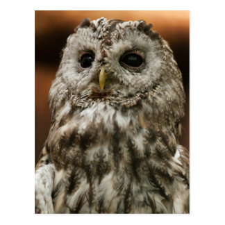 Twany Owl Postcard