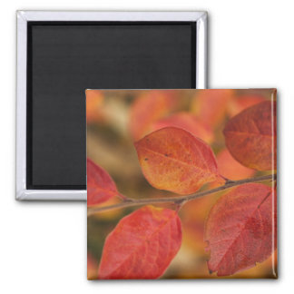 Twig covered with autumn leaves square magnet