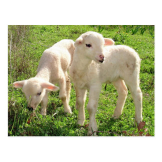 Twin Lambs Grazing Post Card