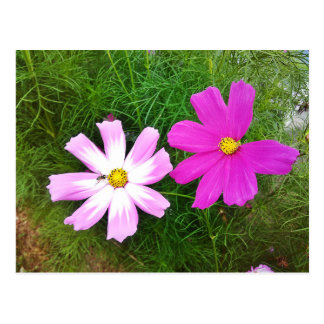 Twin Pink Cosmos Flowers Postcard