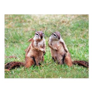 Twin squirrels postcards