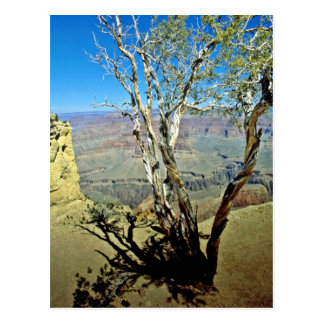 Twisted Tree At Edge Of Grand Canyon Post Card