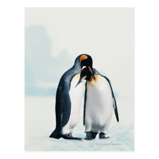 Two affectionate penguins postcards