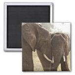 Two African Bush Elephants (Loxodonta Africana) Fridge Magnet
