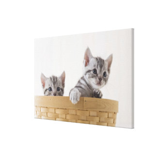 Two American Shorthair Kittens Gallery Wrap Canvas