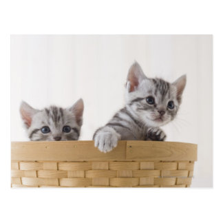 Two American Shorthair Kittens Postcard